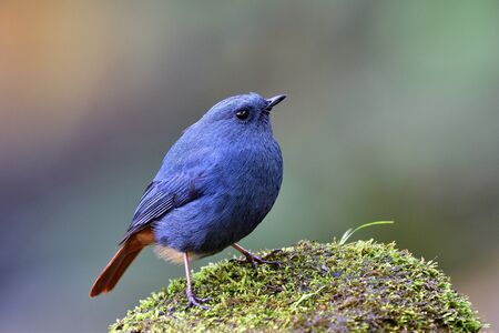 Plumbeous Water Redstart (Phoenicurus fuliginosus) funny fat blue and grey bird with red tail standing on white rock in stream beside waterfall of Doi Intanon national park Standard-Bild