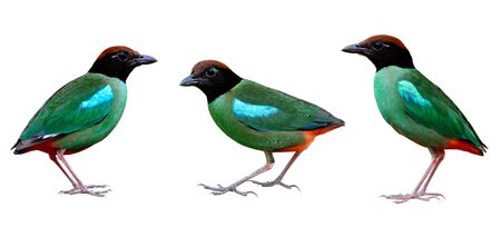 Collection of Hooded pitta (Pitta sordida) beautiful green bird having brown head black face and red tail with crispy sharp details of feathers, exotic pretty wild animal Imagens