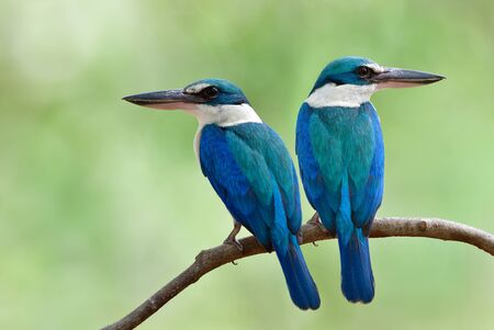 Beautiful turquoise blue birds teasing each oher while perching on thin branch over bright green background in Thailand mangrove garden, grace wild animal
