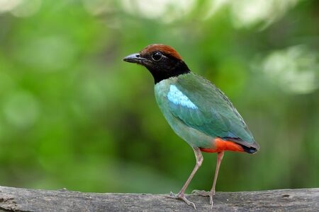 Hooded pitta (Pitta sordida) beautiful green bird with brown head black face and red tail fully standing on wooden log showing its back feathers profile Imagens