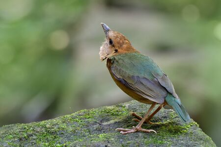 Rusty-naped pitta (Hydrornis oatesi) beautiful pale green to brown bird keep alerting for invading Blue Whistling thrush while perching on mossy rock in stream, exotic wild animal Imagens