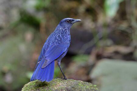Blue whistling thrush (Myophonus caeruleus) velvel dark blue with black bills morph standing on rock in stream on high mountains