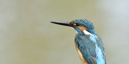 Back view portrait of Common Kingfisher over fine blur green background in panorama crop, fascinated nature