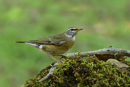 Eyebrowed thrush (Turdus obscurus) beautiful brown to grey bird with white shade on its face perching on mossy spot in nature during visiting to Thailand in winter migration
