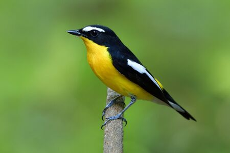 Male of Yellow-rumped flycatcher, beautiful yellow bird with black and white marking on its wings perching tree stick over fine blur green background in nature