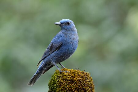 Male of Blue rock thrush ( Monticola solitarius) pale grey to blue bird perching on mossy spot over fine green background in nature, magnificent creature in wild Banque d'images