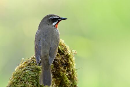 Siberian rubythroat (Calliope calliope) beautiful brown bird with red neck perching on mossy top spot expose over bright green background in nature