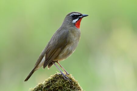 Siberian rubythroat (Calliope calliope) beautiful velvet red neck bird standing on mossy top spot expose over bright green background in meadow field Imagens