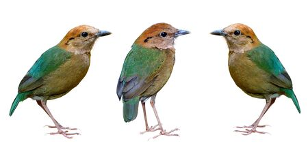 Rusty-naped pitta (Hydrornis oatesi) fascinated green back to tail and brown body to head birds isolated on white background in collection set, beautiful rare wild bird