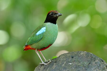 Colorful wild bird has green wings blue markings black face brown head and short red tail perching on clean log in nature, Hooded pitta (Pitta sordida) during breeding season in Thailand