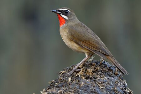 Beautiful brown bird with velvet red feathers look like ruby stone on its chin perching on dirt spot, Siberian rubythroat (Calliope calliope)  Imagens