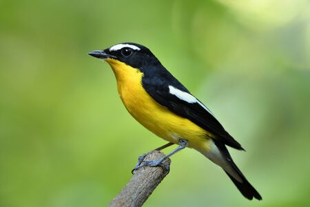Colorful yellow bird with black wings perching wooden branch over blur green background in nature, Male of Yellow-rumped flycatcher