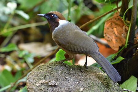 white-necked laughingthrush (Garrulax strepitans) naughty brown bird with dark feathers on its neck species in family Leiothrichidae living in its habition ground area in jungle