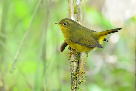 Happy yellow bird with tail lift while alerting to its enemy, Female of Golden bush robin (Tarsiger chrysaeus) perching on thin vine plant in nature of northern Thailand 스톡 콘텐츠