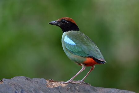 Hooded pitta (Pitta sordida) lovely green bird with red tail standing on clean wooden plank during its migratory trip in Thailand