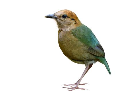 Rusty-naped pitta (Hydrornis oatesi) beautiful pale green back to tail and brown head to belly bird isolated on white background, Thailand most wanted animal