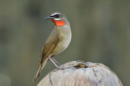 Funny brown bird with bright red feathers on its chin perching on dried coconut fruit over fine blur green background in nature, Siberian rubythroat (Calliope calliope)