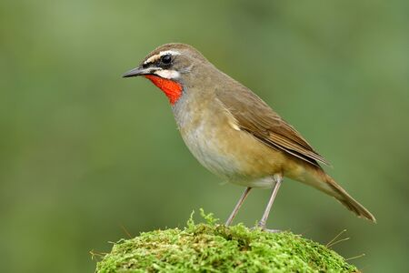 Fascinated brown brid with bright red feathers on its neck perching on green mossy grass, exotic Siberian rubythroat (Calliope calliope)