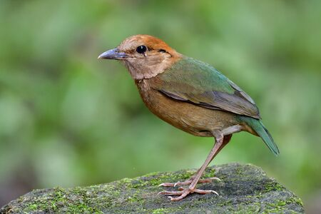 Rusty-naped pitta (Hydrornis oatesi) beautiful light green and brown bird peaceful perching on mossy rock in stream, Thailand rare residentail bird