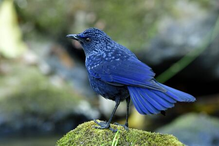 Blue whistling thrush (Myophonus caeruleus) happy velvet dark blue with black bills bird perching on rock in stream with tail panning Banque d'images