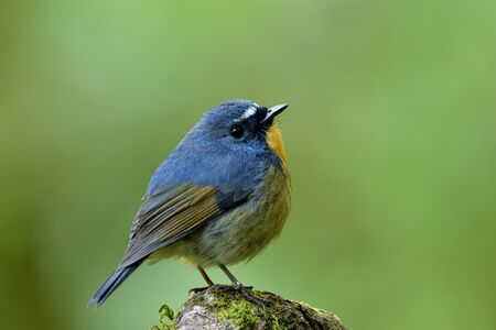 Male of Snowy-browed Flycatcher (ficedula hyperythra) lovely small blue and brown bird with white feathers on head standing on mossy wooden in wild nature, fascinated animal