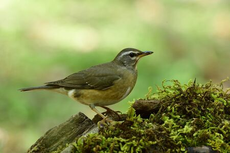 Eyebrowed thrush (Turdus obscurus) grey to brown thrush in Turdidae family perching on mossy spot over bright background in Mae Fah luang arboretum garden, Thailand