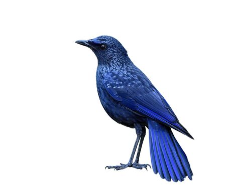 Blue whistling thrush (Myophonus caeruleus) mysterious dark blue bird with black bills morph fully standing showing its sharp feathers details isolated on white background