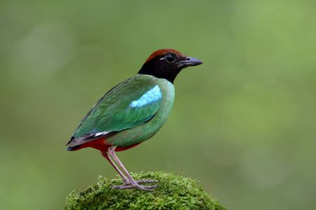 Most beautiful wild green bird with brown head black face and red tail fully standing on mossy grass top over fine blur background in nature, Hooded pitta (Pitta sordida)