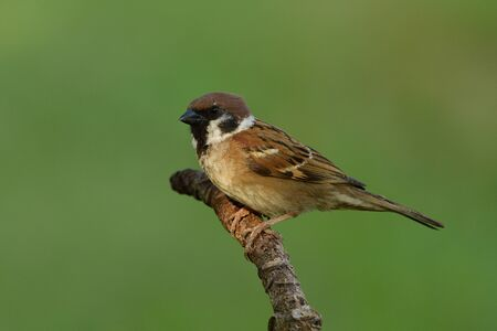 Eurasian or house sparrow, common little brown bird living around on house tree and garden perching on curve wooden stick Imagens