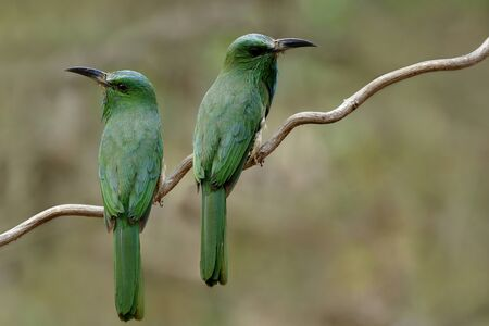 Sweet pair of Blue-bearded Bee-eater, beautiful green birds perching on vine paying court during breeding season, exotic wild animal