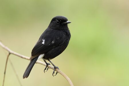 Pied bushchat (Saxicola caprata) Beautiful  dark black bird with white mark on its tail perching on dried stick over soft sunlight in brown tone background, exotic animal