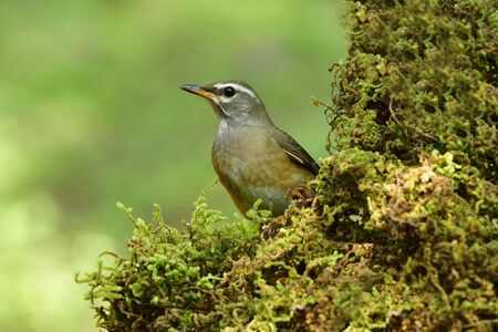Seek and hide, eye-browed thrush sitting behind mossy spot with only face showing up, funny animal 写真素材
