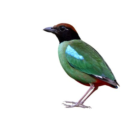Colorful bird has green wings blue marks black face brown head and red tail fully standing with crispy sharp details, Hooded pitta (Pitta sordida)