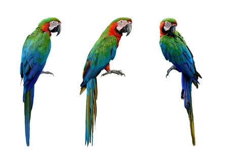 Harlequin Macaws, cross breeding from Blue and Gold and a Green-winged Macaw which makes very affectionate isolated on white background, exotic animal collection 版權商用圖片