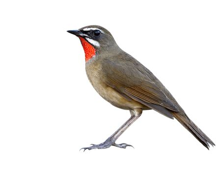 Beautiful brown bird with velvet red feathers as ruby stone on its chin isolated on white backghround details from head to tail and toes, Siberian rubythroat (Calliope calliope)