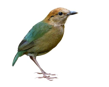 Pretty Pale green bird with brown head to belly isolated on white background show details of sharp feathers profile, Rusty-naped pitta