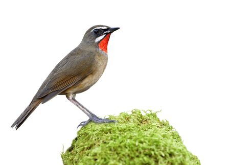Siberian rubythroat (Calliope calliope) Beautiful brown bird with velvet red feathers as jewelry stone on its chin standing on mossy grass isolated on white background