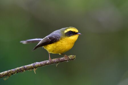 Yellow-bellied fantail (Chelidorhynx hypoxanthus) beautiful yellow birdwith grey wings perching on thin stick looking for flying insect to catch