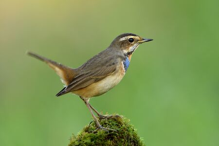 Male of Bluethroat (Luscinia svecica) beautiful brown with blue and orange feathers on its chest bird happily standing on mossy spot over fine blur green background, exotic animal 写真素材