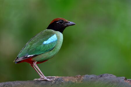 Colorful bird with green wings blue marks black face brown head and red tail fully perching both feet on clear log, Hooded pitta (Pitta sordida) dueing breeding season in Thailand Imagens