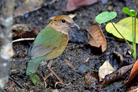 Rusty-naped pitta (Hydrornis oatesi) exotic green to brown bird stading on its habitation ground in stream while searching for meal in early morning