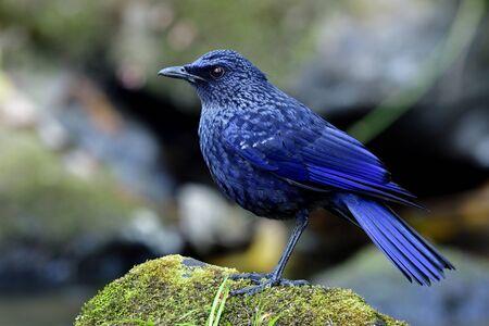 Cave bird, Blue whistling thrush (Myophonus caeruleus) mysterious velvet dark blue with black bills bird standing on rock in stream