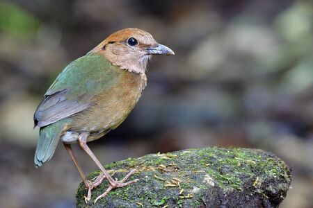 Rusty-naped pitta (Hydrornis oatesi) beautiful pale green to brown bird calmly perching on mossy rock in stream with feeding worm meals, fanny animal in naure