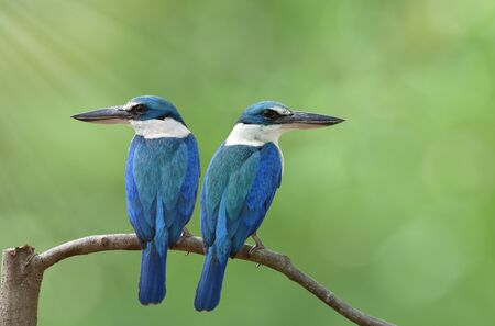 most beautiful bright turquoise blue bird with white neck and belly together perching on mangrove branch during mating season taken in Thailand, fascinated tropical wild animal