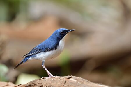 beautiful slim blue and white bird perching on tree route while looking for food, male of  Siberian blue robin (Larvivora cyane) 写真素材