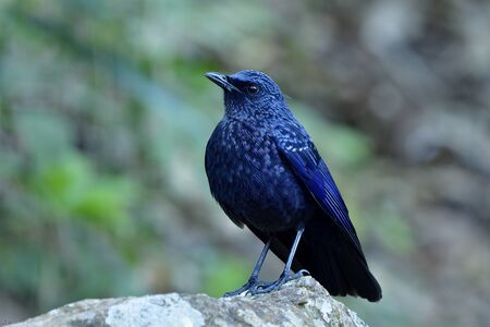 Blue whistling thrush (Myophonus caeruleus) magnificent velvet dark blue bird perching on rock in stream with wings cover his body on cold day