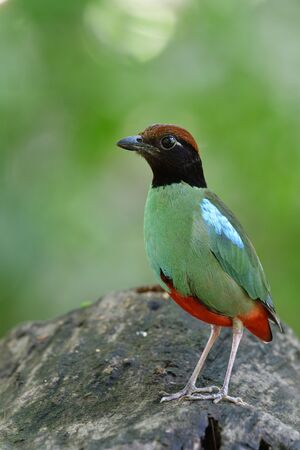 Chestnut-crowned or Hooded pitta (Pitta sordida) vivid green bird with red tail black face and brown head happy standing on wooden plank in Bangkok city garden Imagens