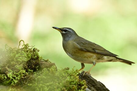 Fascinated brown to grey bird with white shade on its face perching on mossy spot over bright background on shiny day, Eyebrowed thrush (Turdus obscurus)