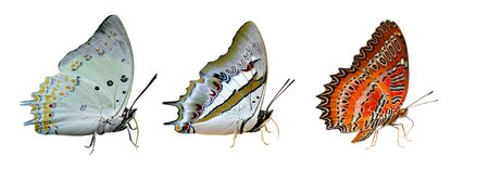 Jewelled nawab, blue nawab and red lacewing, most beautiful butterflies in Thailand isolated on white background