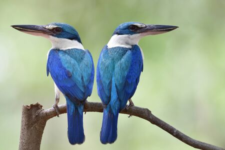 White collared kingfishers in mating season, fascinated blue bird with large beaks perching together